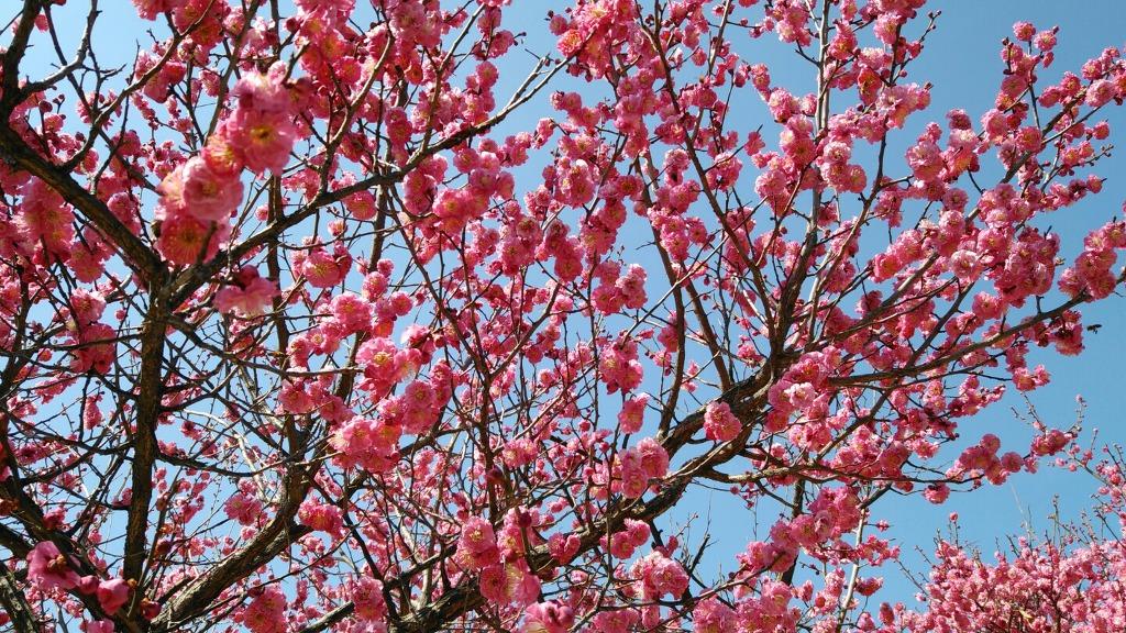 봄의 전령사